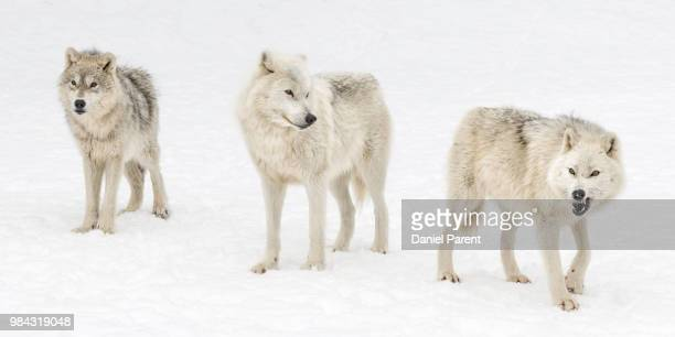 wolf ways... - arctic wolf stock photos and pictures