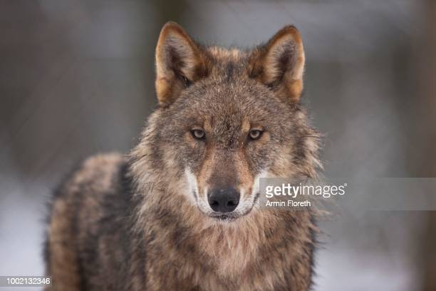 wolf (canis lupus), weilburg zoo, hesse, germany - carnivora stock pictures, royalty-free photos & images
