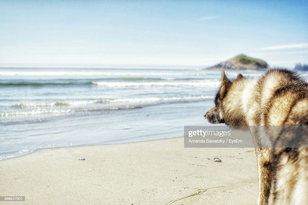 Wolfdog At Beach : Foto de stock