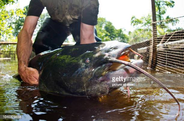 Wolfgang Richter of Spree Woods Fishery AltSchadow presents a living Wels catfish weighing 40 kg and measuring 180 m in length in Alt Schadow Germany...