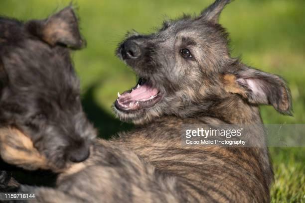 wolfhound puppies - アイリッシュウルフハウンド ストックフォトと画像