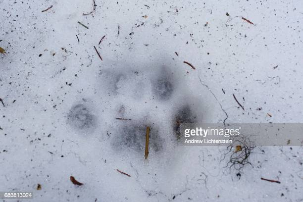 A wolf's footprint lies in the path of the Basil's family search for any evidence of Mackie Basil's disappearence on April 25 2016 in the remote...