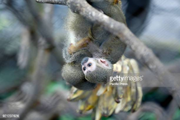 Wolf's Mona Monkey from Africa eating banana at Jatim 2 Secret Zoo in Batu East of Java Province in Indonesia During Lunar Year holiday many people...