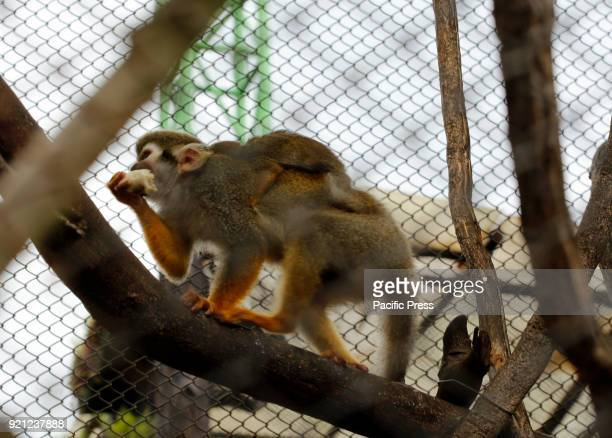 Wolf's Mona Monkey from Africa eating vegetables while carrying chili at Jatim 2 Secret Zoo in Batu East of Java Province in Indonesia During Lunar...