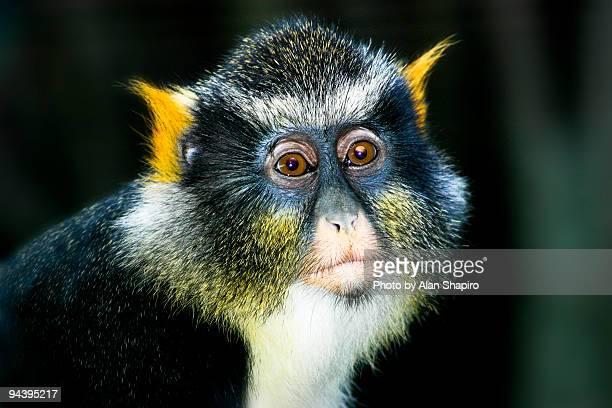 Wolf's Monkey Portrait