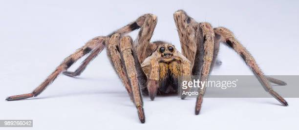 wolfy spidy 2 - animal hair stock photos and pictures
