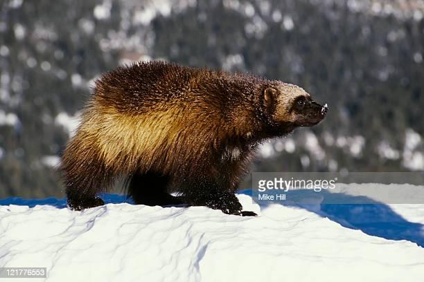 Wolverine (Gulo gulo) in snow, Montana, USA (Animal model)