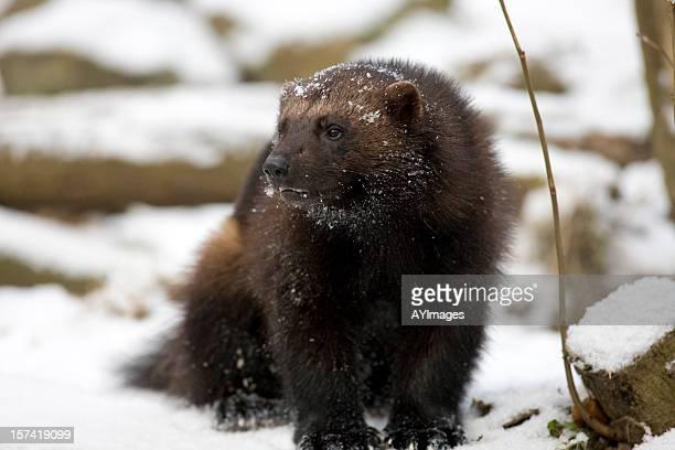 Wolverine (G. gulo) in snow