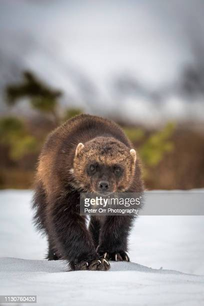 a wolverine in taiga forest - one animal stock pictures, royalty-free photos & images