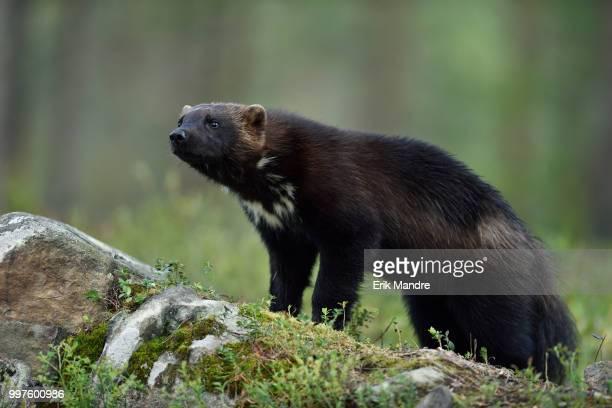 Wolverine (Gulo gulo) on stone in forest