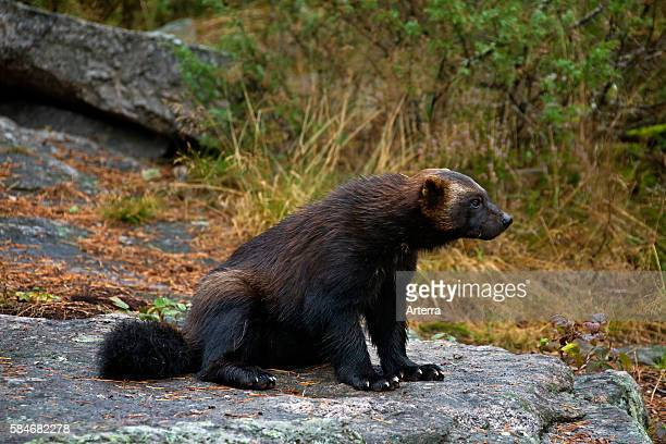 Wolverine on the subarctic tundra in Sweden Scandinavia