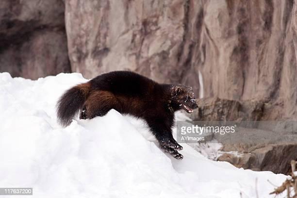 Wolverine (G. gulo)