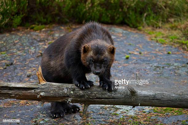 Wolverine resting on tree trunk showing huge paws Sweden Scandinavia