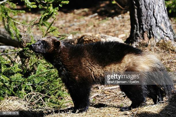 Wolverine Standing In Forest