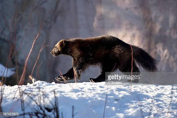 Wolverine walking in snow (G. gulo)