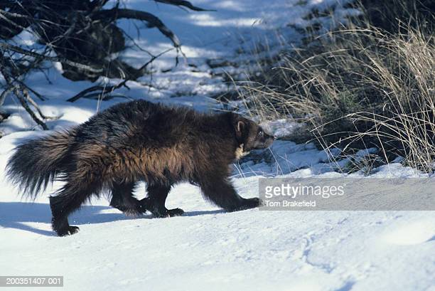 Wolverine walking on snow, USA