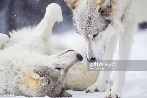 Wolves Greeting