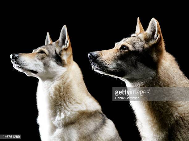 2 wolves in profile