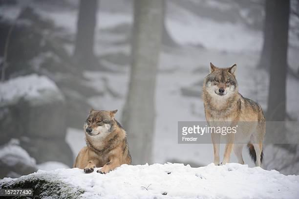 wolves dans la neige