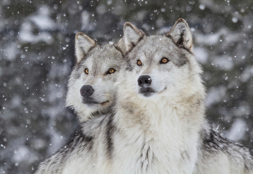 Wolves in Snow  (Canus Lupus) 177533648