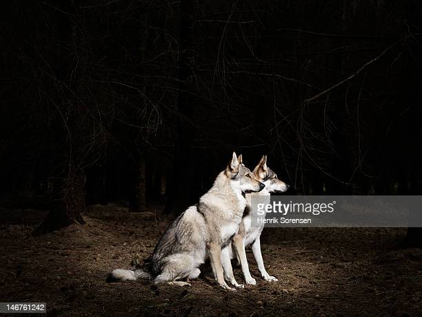2 wolves in the forest