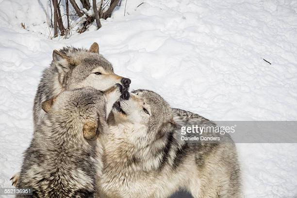 Wolves kissing in greeting