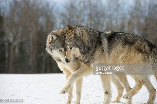 Wolves (Canis lupus) nuzzling in snow, side view