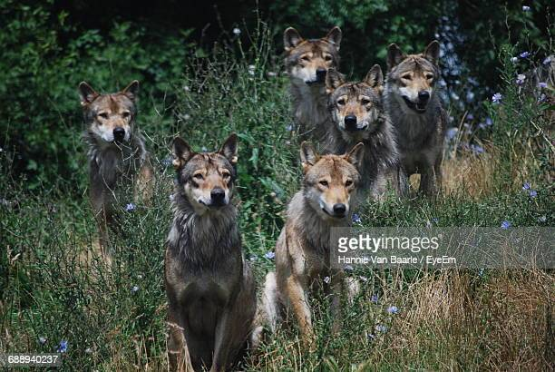 Wolves On Field At Planete Sauvage