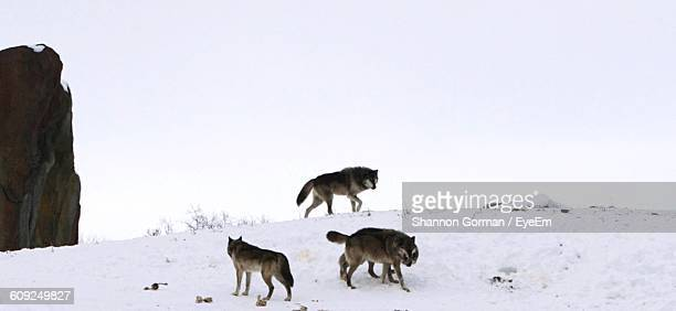 Wolves On Snow Covered Field Against Sky