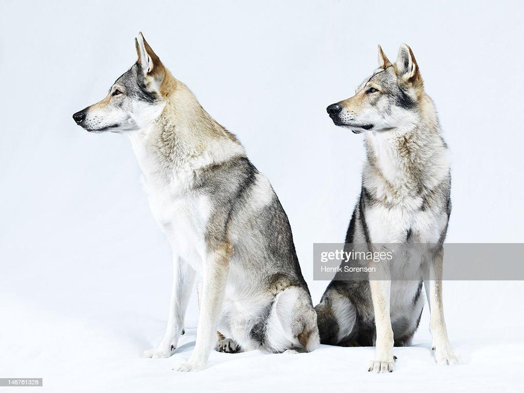 2 wolves, portrait : Stock Photo