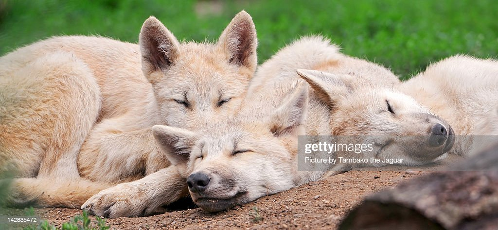 View of three arctic wolves pups sleeping.