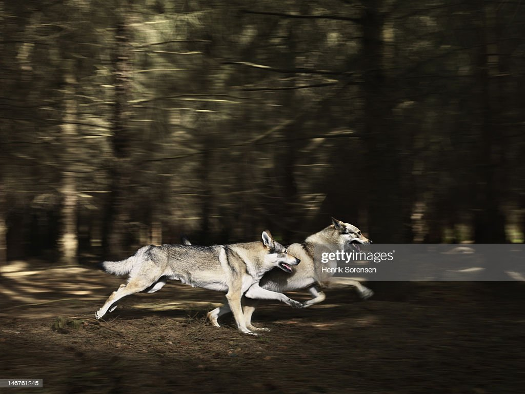 2 wolves running in the forest : Stock Photo