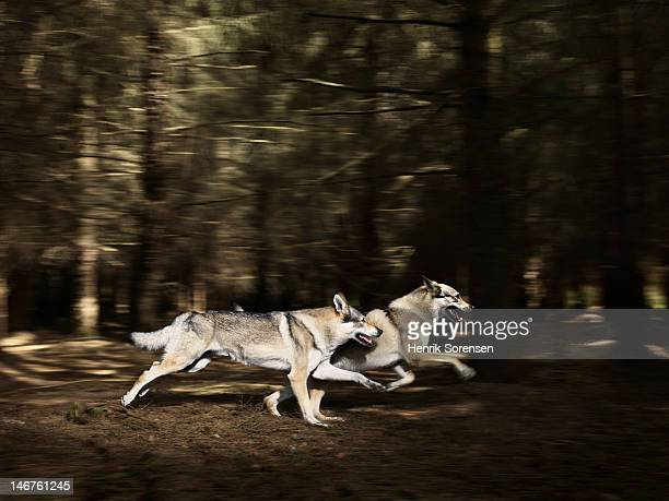 2 wolves running in the forest