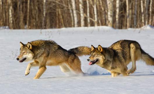 Wolves Running in Winter 508208981