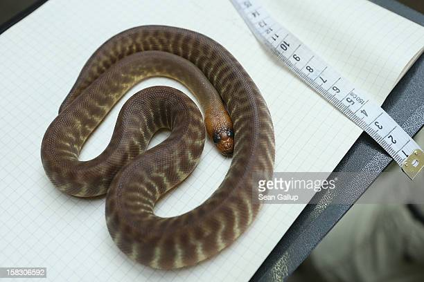 A woma python from Australia lies on a clipboard during the annual animal inventory at Zoo Berlin zoo on December 12 2012 in Berlin Germany The zoo...