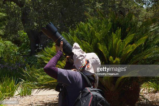 woman aims camera with long lens into the treetops - timothy hearsum stock-fotos und bilder