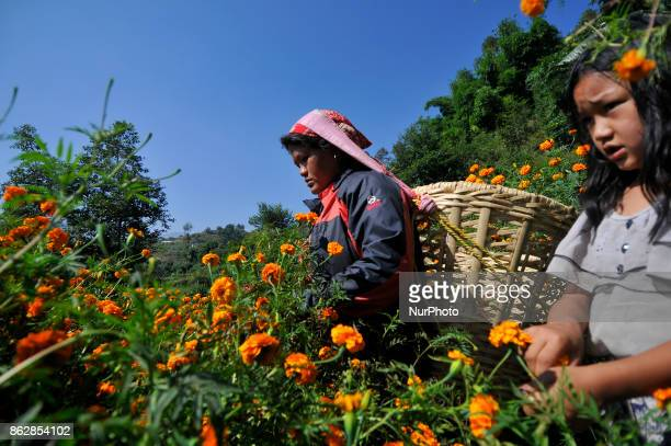 A woman along with her daughter picking marigold flower for the Tihar Festival or festival of lights and festival of flowers at Kathmandu Nepal on...