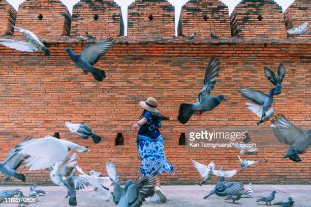 woman amidst pigeons against brick wall - chiang mai province stock photos and pictures