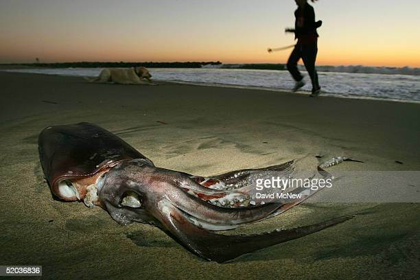 A woman and a dog pass a giant squid that washed ashore on January 19 2005 in Newport Beach California Scientists are trying to figure out why...
