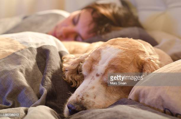 woman and dog sleeping - spaniel stock pictures, royalty-free photos & images