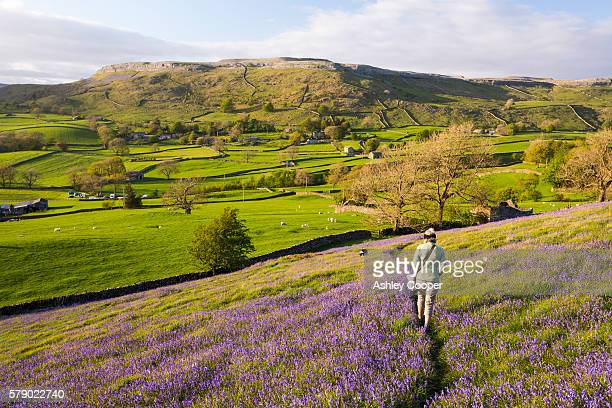 a woman and dog walking through bluebells above austwick in the yorkshire dales, uk. - spring stock pictures, royalty-free photos & images