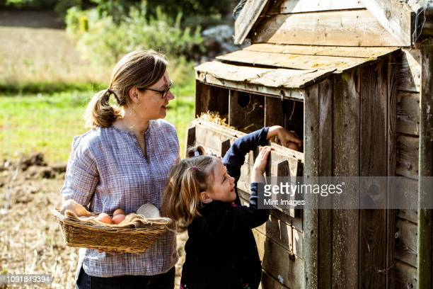 woman and girl collecting eggs from a chicken house. - chicken coop stock pictures, royalty-free photos & images