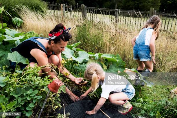 woman and two girls in a vegetable garden, harvesting potatoes. - organic stock pictures, royalty-free photos & images