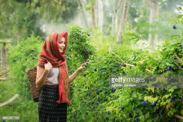 Woman are harvesting flowers The name of the pea