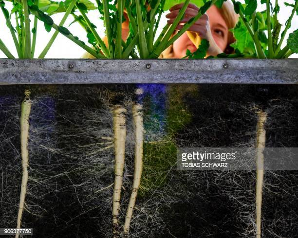 A woman arranges an installation demonstrating the cultivation of radish prior to the opening of the International Green Week agricultural fair in...
