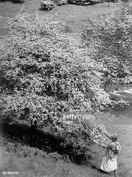 Woman at a blossoming tree in Dovedale 17th June 1936 Photograph