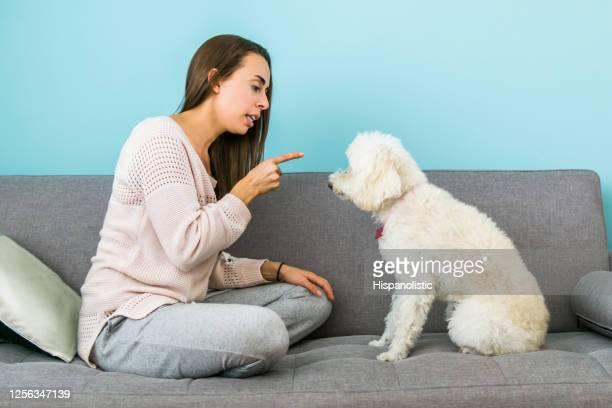 自宅の女性は、家具に登るための彼女の犬をオフに伝えます - 動物調教師 ストックフォトと画像