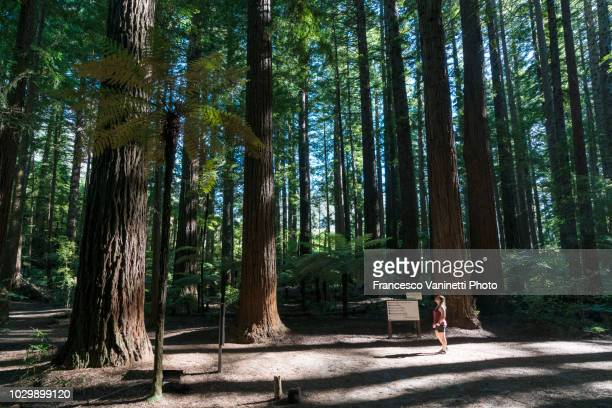 woman at the redwoods in the whakarewarewa forest, new zealand. - rotorua stock pictures, royalty-free photos & images