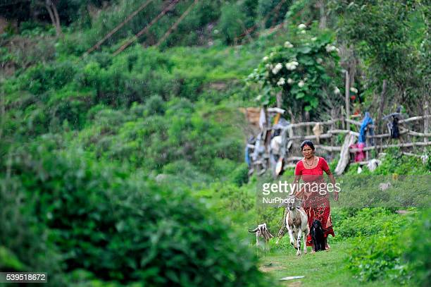 A woman back towards home after grazing her goats in the fields at Panauti Kavre Nepal on June 11 2016