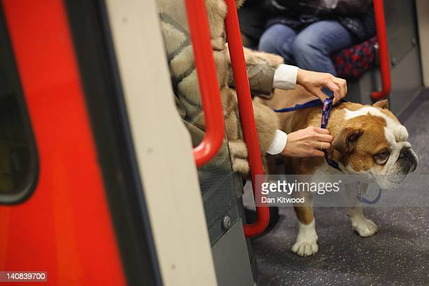 A woman boards a train with her dog at Notting Hill Gate Underground station on February 14 2012 in London England London's underground rail system...